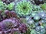 Just Seed Hauswurzen / Sempervivum, gemischt, Blume, 100Samen