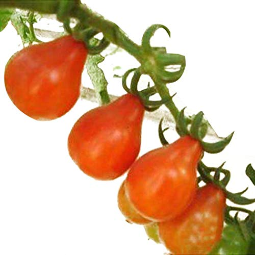 620mg Grappoli D/'Inverno Cherry Tomato Seeds 160 Count Easy Minis Italian Import