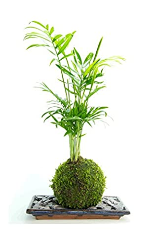 Bonsai tree Palm- LIVE, Kokedama indoor house plant with blue tray and slate -20cm high