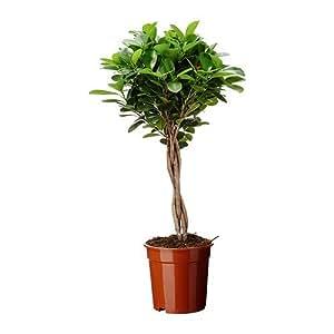 IKEA FICUS MICROCARPA MOCLAME - plante en pot - 17 cm