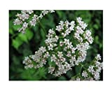 Baldrian - Valeriana officinalis - 50 Samen