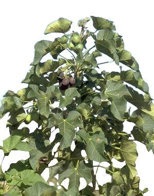 Purgiernuss (Jatropha curcas) 10 Samen