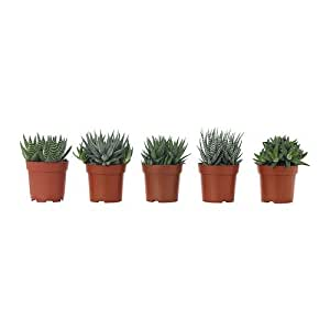 IKEA Haworthia - plantes en pot, assorties - 10,5 cm