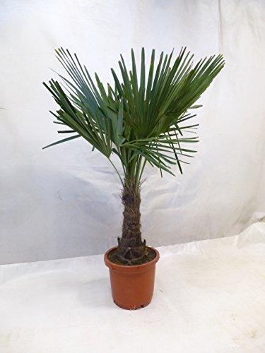 [Palmenlager] Trachycarpus fortunei 140/160 cm - Stamm 30/40 cm - Winterharte Palme -