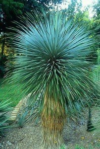 Yucca Rostrata 5 Samen -die schönste stammbildende, winterharte Yucca die es gibt