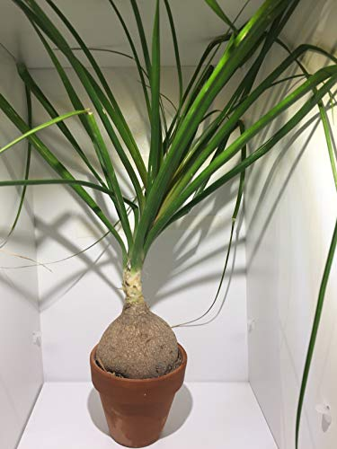 pianta nolina recurvata mangiafumo beaucarnea