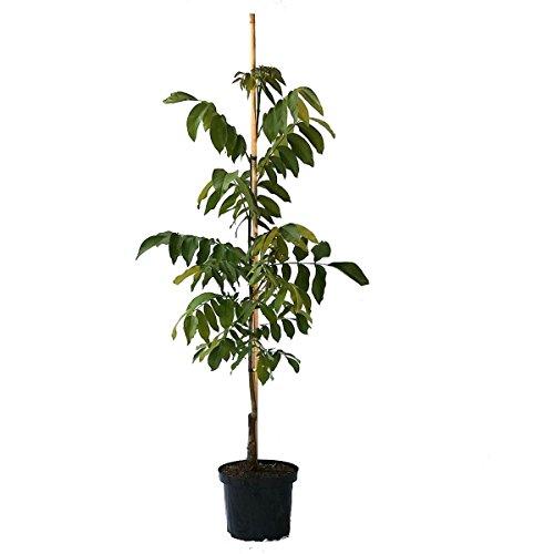 Müllers Grüner Garten Shop Seifersdorfer Runde selbstfruchtbarer Walnussbaum veredelt Walnuss 125-175 cm Pflanze im 10 Liter Topf -