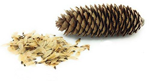 Gemeine Fichte - Picea abies - Koniferen - Fichten - Fichtensamen - Samenpflanzen - Tannensamen - Saatgut - Forstpflanzen - Nadelbaum - Bäume - 100 Samen