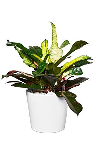 EVRGREEN | Zimmerpflanze Wunderstrauch in Hydrokultur mit weißem Topf als Set | Kroton | Codiaeum variegatum 'Iceton'