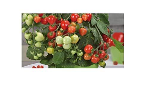 10x Cherrytomaten, herzförmig, Heartbreaker Vita F1 - Tomaten Samen Gemüse K549