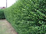 5 Green Privet Hedging Plants Ligustrum Hedge 40-60cm, Dense Evergreen, Potted 3fatpigs®
