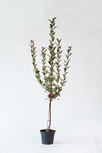 "Apfelbaum ""Baya Marisa"" – Apfel – Buschbaum – Baum – Malus Domestica"