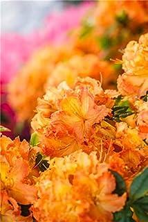 Rhododendron lut Daviesii Sommergr/üne Azalee 40-60cm im Topf gewachsen