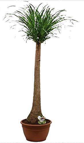 Elefantenfuß, (Beaucarnea recurvata), pflegeleichte Zimmerpflanze (30cm Topf, ca. 130cm hoch)