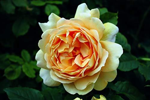 Rose Golden Celebration® (im grossen Container) - kräftige Pflanze im 6lt.-Container