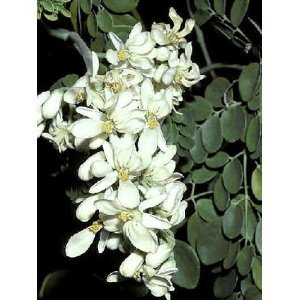 25-seeds-moringa-oleifera-drumstick-tree-seeds-garden-lawn-supply-maintenance