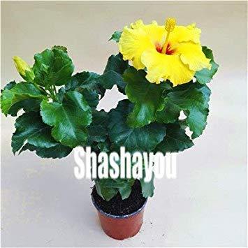 100 Stück/Beutel Hibiskus-Blume Topfpflanzen Riesen Hibiscus Bonsai Perennial Huge 10-12 Zoll-Hausgarten pflanzt dekorative Blumen: 9 - Topfpflanze Hibiscus
