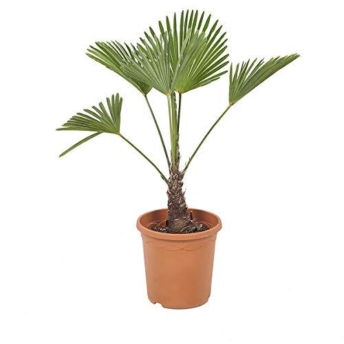 Arbre d'intérieur de Botanicly - palmier à chanvre - Hauteur: 80 cm - Trachycarpus Wagneriana