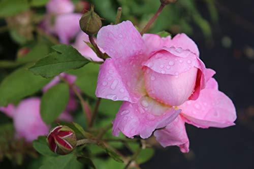 Rose Royal Jubilee (im grossen Container) - Kräftig entwickelte Pflanze im 6lt-Topf Royal Roses