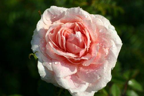 Kir Royal® - Container Rose im 5 ltr. Topf (Royal Roses)