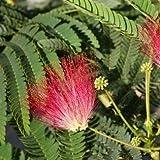 Roter Seidenbaum Akazie - Albizia julibrissin Rouge de Tuiliere - Größenauswahl (50-70cm - Topf Ø 15cm)