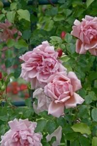 'Albertine', Rambler-Rose im 4 Liter Container