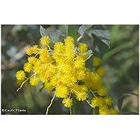 Acacia dealbata - Silberakazie - 25 Samen