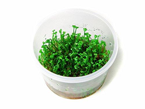 Tropica Marsilea Crenata 1-2-grow Tissue Culture in vitro planta para Acuario Camarón Safe & Caracol libre