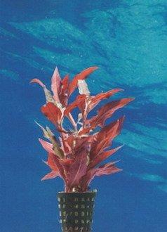 Breitblättriges, rotes Papageienblatt / Alternanthera reineckii ROT