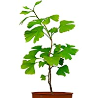 Seedeo Ginkgo (Ginkgo biloba) Pflanze 2,5 Jahre