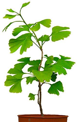 Seedeo Ginkgo (Ginkgo biloba) Pflanze 2,5 Jahre -