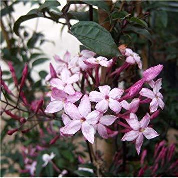 SANHOC Samen-Paket: Kreuz Nursery Jasminum polyanthum dunkelrot leavedSEED