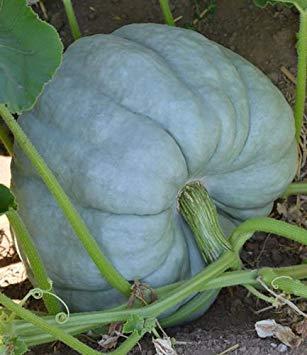 ANVIN Keim Seeds: Kürbis-Blau Puppe | Süße Schmecken | Sehr Light Blue | F1 Hybrid | 10 Samen