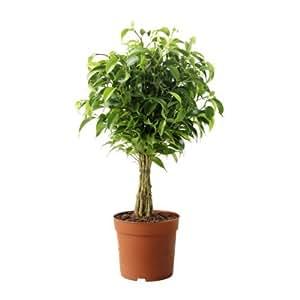 IKEA FICUS BENJAMINA -NATASJA- - plante en pot, Weeping fig - 12 cm