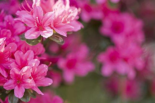 azalea-japanese-geisha-pink-15-20cm-tall-in-2-litre-pot-beautiful-pink-flowers