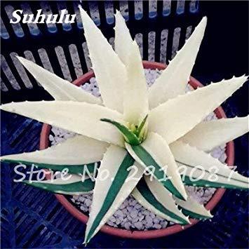 Nouveau! 20 Pcs coloré Cactus Rebutia Variété Mix Exotique Aloe Graine Cacti Bureau Rare Cactus comestible Beauté Succulent Bonsai plantes