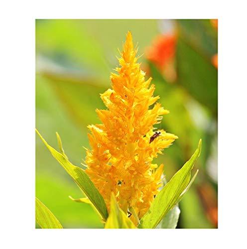 30x Celosia argentea var. cristata yellow Samen Strauch Garten Haus ID24