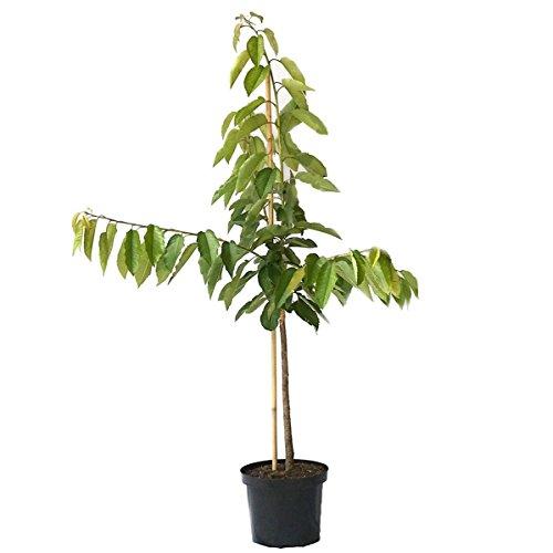 Müllers Grüner Garten Shop Kirschbaum Schneiders Späte Knorpelkirsche einjähriger Buschbaum 100-120 cm im 7,5 Liter Topf auf GiSelA 5