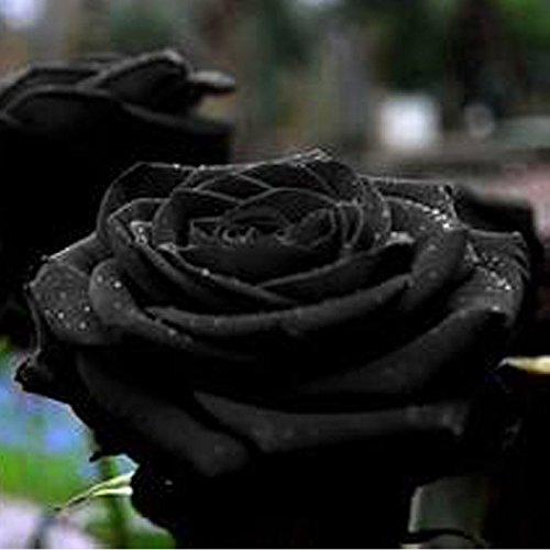 etophigh 100Samen China Seltene Schwarz Rose Flower Lover DIY Pflanzen selten Home Garten schwarz Rose Blume Samen