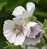 Portal Cool Gartenteichpflanzen Eibisch Althea officinalis India Marginal Rooted Pflanze