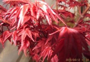 30seeds / bag di giardino domestiche di piante Bonsai Semi Acer palmatum Crimson Queen Seeds Mini giapponese acero rosso semi Bonsai