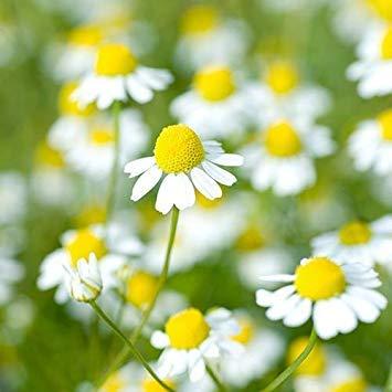 SANHOC Samen-Paket: xGerman FlowerSeeds