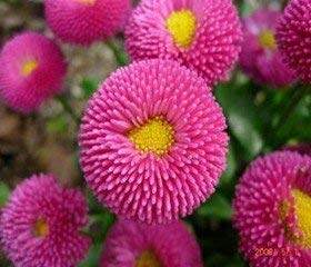 Farmerly Healthy China Aster Flower Seeds, Deep Rose Color Petals Seeds, No Gm Seeds (250 Seeds) Sd1500-0401