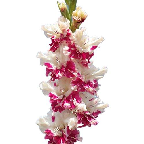 Ncient 50/ 100 pcs/ Sac Graines de Glaïeul Épée Lily Vivaces Belle Floraison Bonsaï en Plein Air Semences de Fleurs Jardin pour l'Intérieur et l'Extérieur (50Pcs, Rouge)