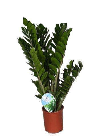 Glücksfeder, (Zamioculcas zamiifolia), Zamie, Zamia Farn, Zamia Palme, pflegeleichte Zimmerpflanze