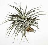 1 Tillandsia kammii, Tillandsien für Terrarien, Aufsitzerpflanzen
