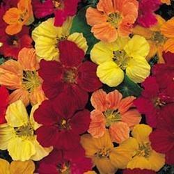 Galleria fotografica Fiore - Kings Seeds - Confezione Multicolore - Nasturzio - Tom Thumb Mix