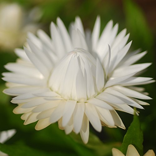 Strohblumen Double weiß Samen - Lakritz-Strohblume