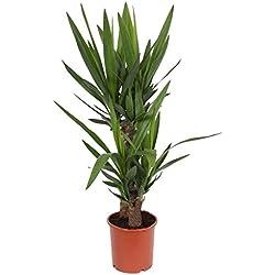 2er Tuff Yucca-Palme, Palm-Lilie, (Yucca elephantipes), 2 Stämme, ca. 85 cm hoch, Zimmerpflanzen, Kübelpflanzen, Palme