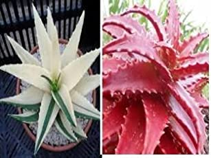 Greenly Aloe Vera Seeds - Red and White (20 Seeds)